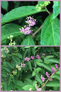 ムラサキシキブ(紫式部)の花と実